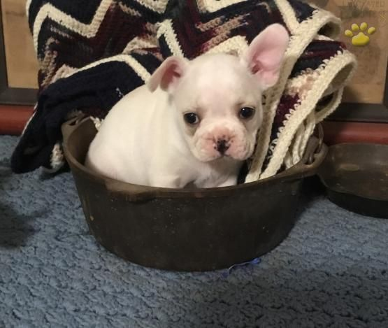 Flo French Bulldog Puppy For Sale In Julian Pa Lancaster