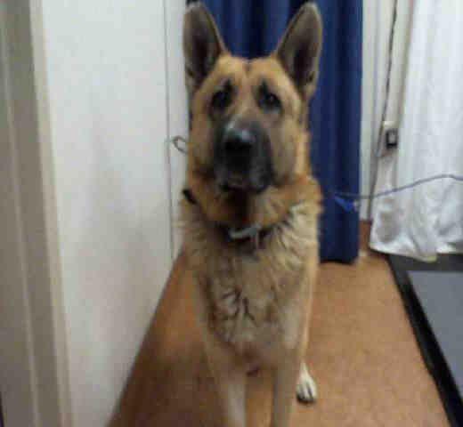 German Shepherd Dog Dog For Adoption In Sacramento Ca Adn 765300