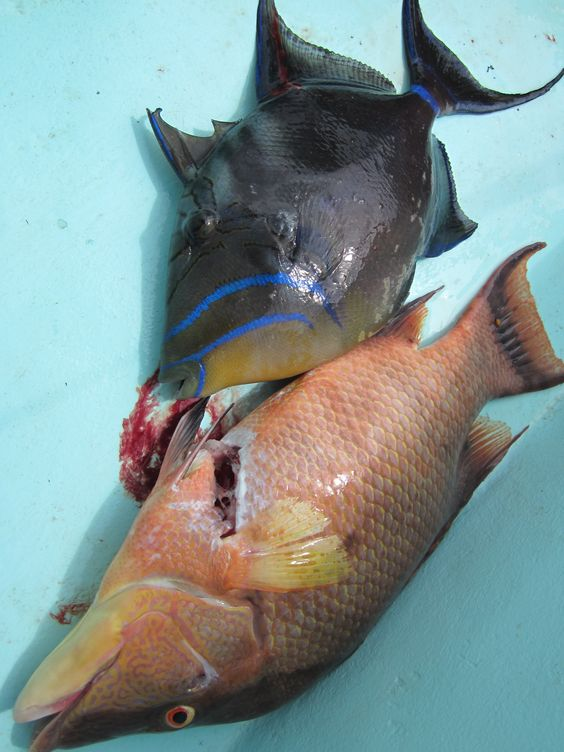 Hogfish and triggerfish