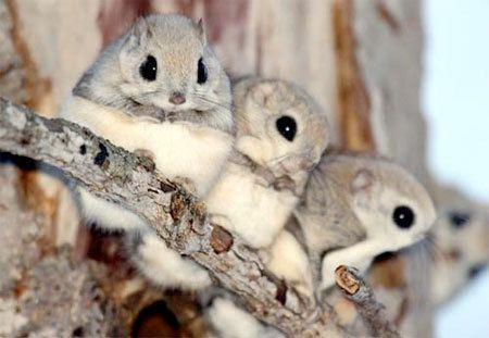 baby flying squirrels..