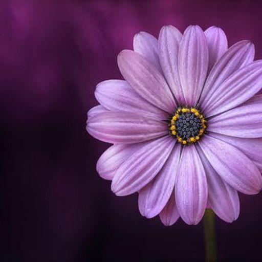 Tv Shows Movies Purple Flowers Purple Daisy Beautiful Flowers