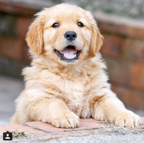 Golden Retriever Puppy With Images Retriever Puppy Golden