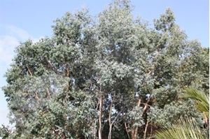 Picture of Eucalyptus gunnii