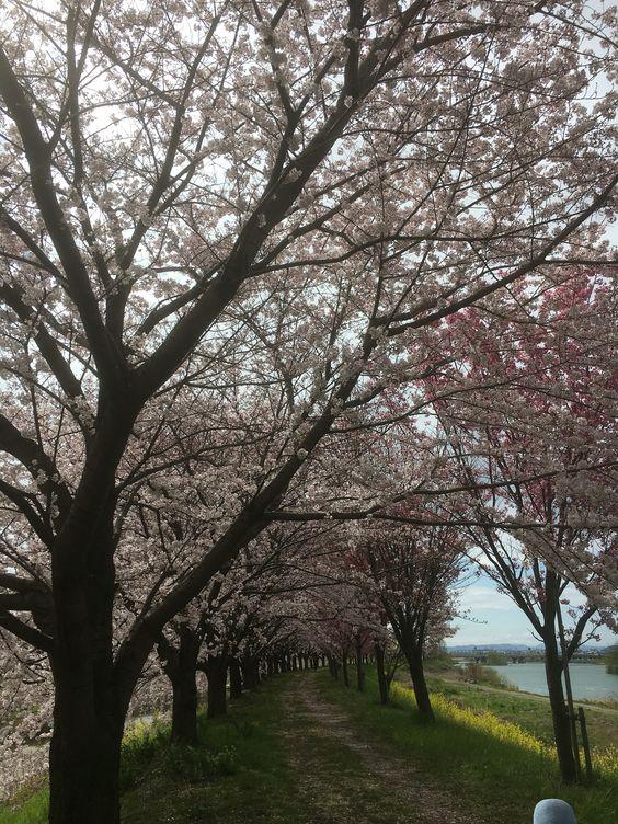 桂川 秘密の並木道