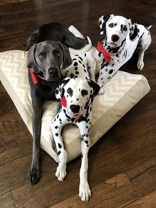 All Three Dalmatians Dalmatian Dogs Dogs Pet Boutique