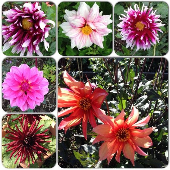 I Liked this Instagram: Collection of some of my dahlias this year. They have not performed well this year they are new tubers so hoping they do better next year #dahlias#flower#plant#garden #mygarden#cuttinggarden #collection by patchworkgardener