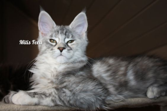 Mitis giant maine coon cattery