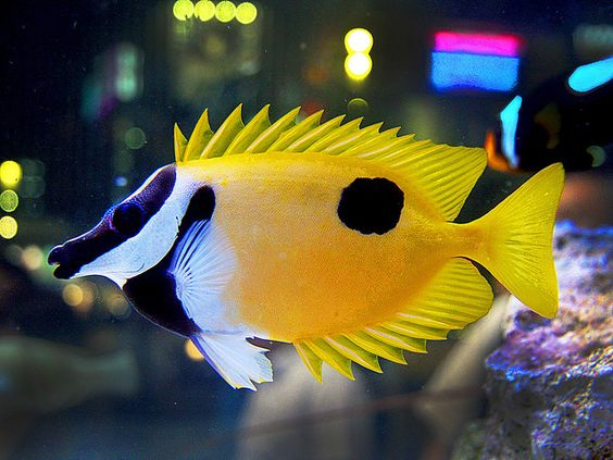 beginner saltwater aquarium one spot foxface rabbitfish