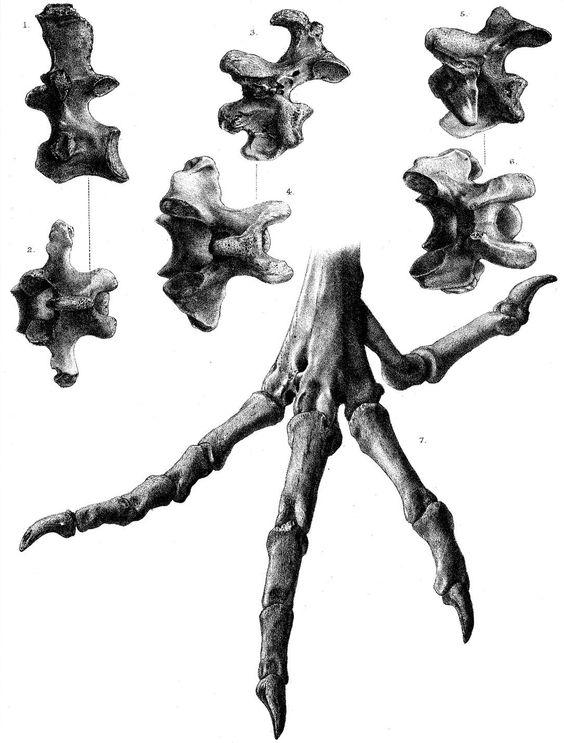 http://upload.wikimedia.org/wikipedia/commons/7/75/Pezophaps_vertebrae_and_foot.jpg