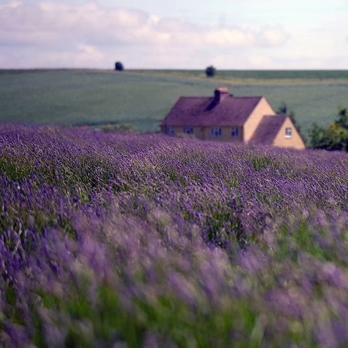 """theothercogirl: """" I seriously want a yard full of purple!!! """""""