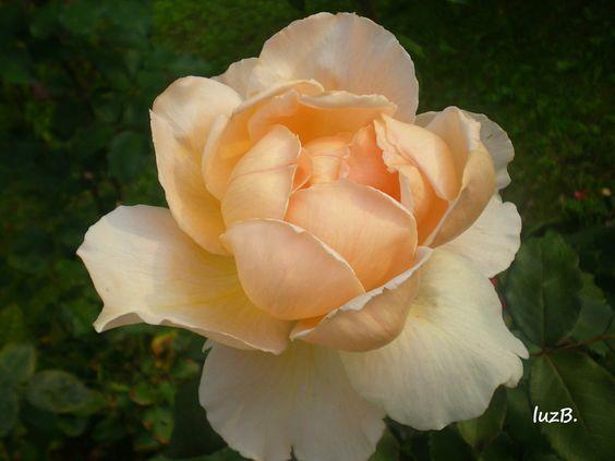 rosa chá  A noite flutua  e as rosas dormem mimosas  aos beijos da lua.  Humberto del Maestro: