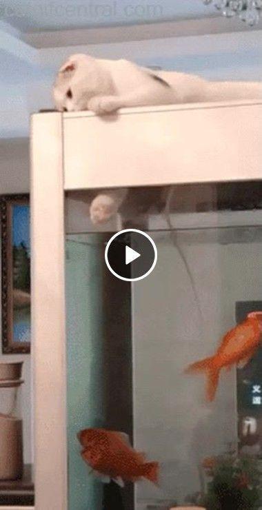 O gato querendo pescar sua janta certa