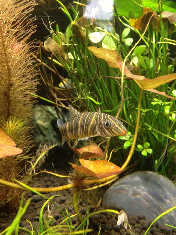 Not An African Cichlid But Lives In My Ac Tank Zebra Loach Tropical Freshwater Fish Pet Fish Freshwater Fish