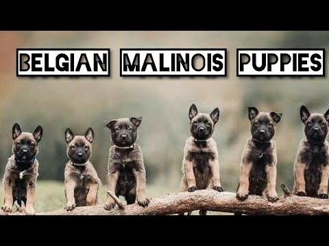 28 Feb 2020 Mr Mandy Belgium Malinois Showline Puppies In India Youtube In 2020 Malinois Belgium Malinois Puppies