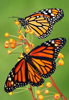 borboletas-monarca: