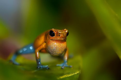 Strawberry Poison Dart Frog.    By Sandra (Supervliegzus)