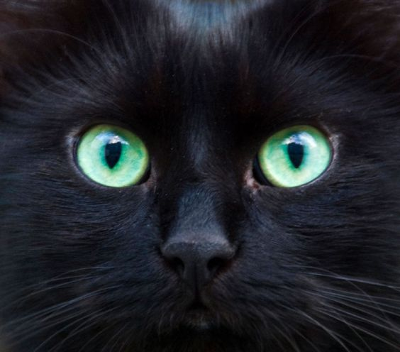 Pelage noir et yeux d'émeraudes