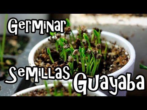 Cómo Podar Los Cultivos De Guayaba Para Optimizar Su Producción Tvagro Por Juan Gonzalo Angel Youtube Semillas De Limón Guayaba Plantar Semillas De Limón
