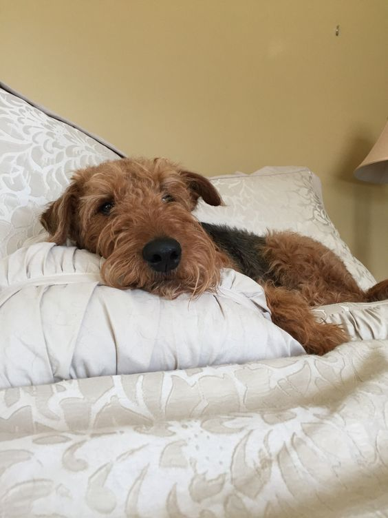 Spoiled Little Bocce Airedale Dogs Silly Dogs Airedale Terrier