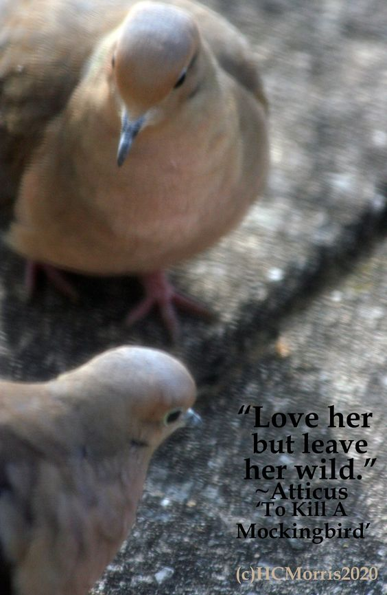 close up of to mourning doves with Atticus quote