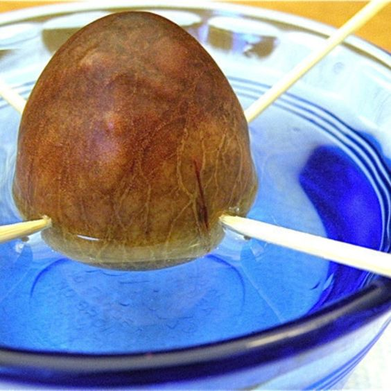 <p>Once you've made your avocado scrambled eggs (or sandwich, or guac), don't throw the pit away -- grow a tree from it! Here, The Hungry Mouse provides step-by-step instructions for growing an avocado tree from a pit.</p>