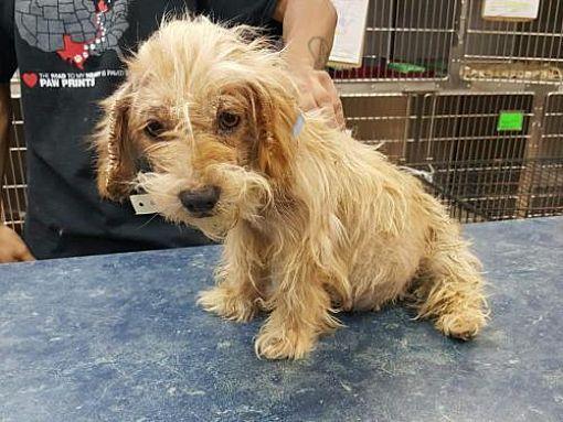 New York Ny Australian Terrier Meet Chrissy A Dog For Adoption Pet Id 13026113 3699 Newyork Newyorkcity Newjersey Socializing Dogs Australian Terrier