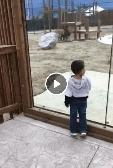 Leão quer pegar criança do outro lado do vidro.