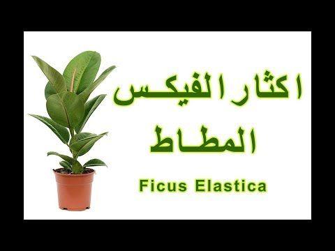كيفية اكثار فيكس مطاط من ورقة واحدة Youtube Youtube Ficus Elastica Ficus