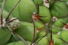 Resultado de imagem para gymnocalycium monvillei