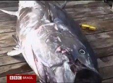 Atum de 335 kg pescado na Nova Zelândia