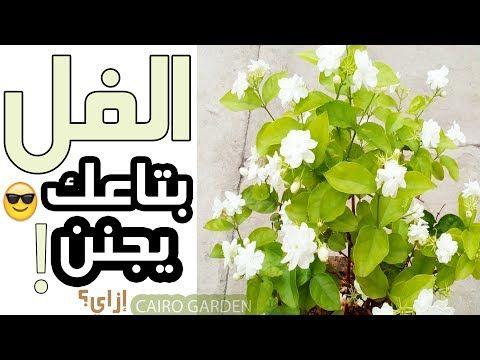 جيرانى سألونى إزاى نبات الفل الياسمين عندى مزهر و ريحته روعة فقررت اقولكم السر فى الفيديو ده 4k Youtube In 2020 Islam Marriage Garden Landscaping Plants