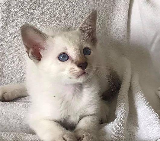 Available Kittens Balinese In 2020 Kittens Kitten For Sale Animals