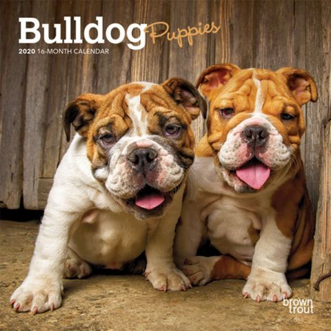 Bulldogs 2020 Calendar Bulldog Puppies Grow Up But They Don T
