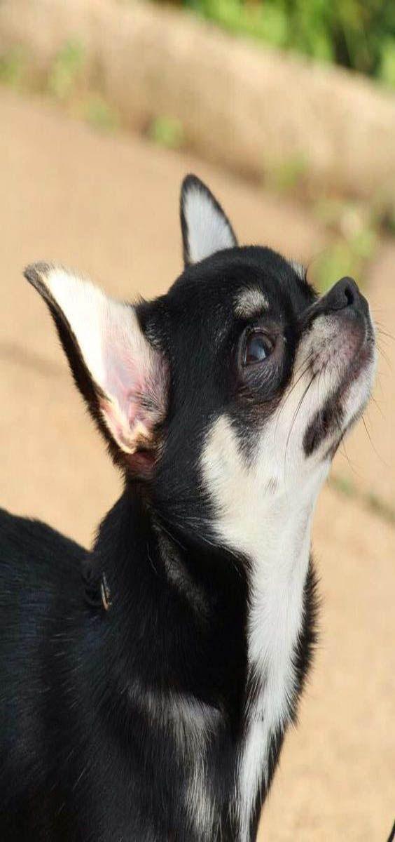 German Shepherd Chihuahua Mix Personality Info Behavior