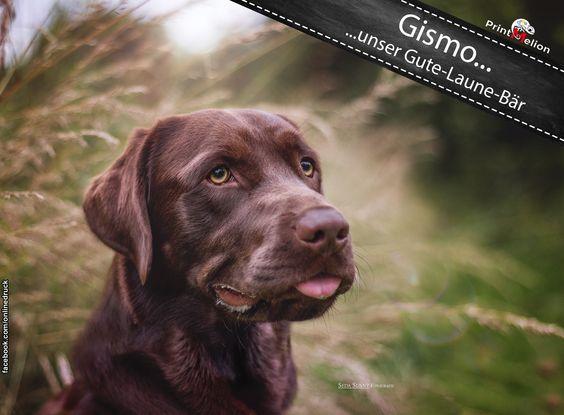 Gismo No. 3  ...unser Gute - Laune - Bär.  Wir bedanken uns bei Seda Kurmut für das tolle Bild. (Simba the King of Dogs)  #printmelion #onlinedruck #Gismo http://www.printmelion.de