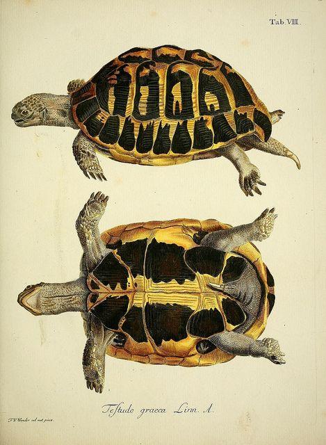 Spur-Thighed Tortoise - Greek Tortoise (Testudo Graeca) Hand-Coloured Engraving. Circa Mid-19th Century.