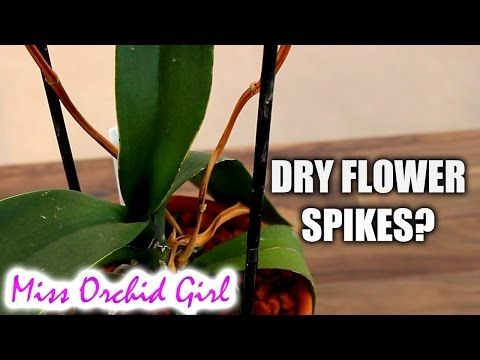 Phalaenopsis Orchid Spike Is Drying What To Do Youtube Flower Spike Orchids Phalaenopsis Orchid