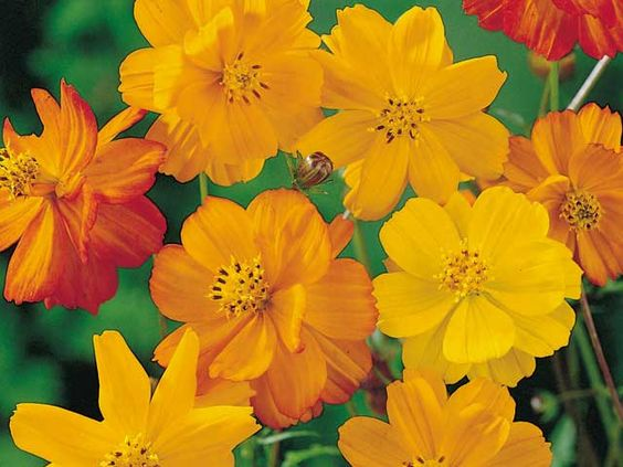 Sowed the seed for my favorite yellow / gold mix of cosomos this morning. These cheerful summer annuals are so easy to grow. Now to keep the deer from eating them......