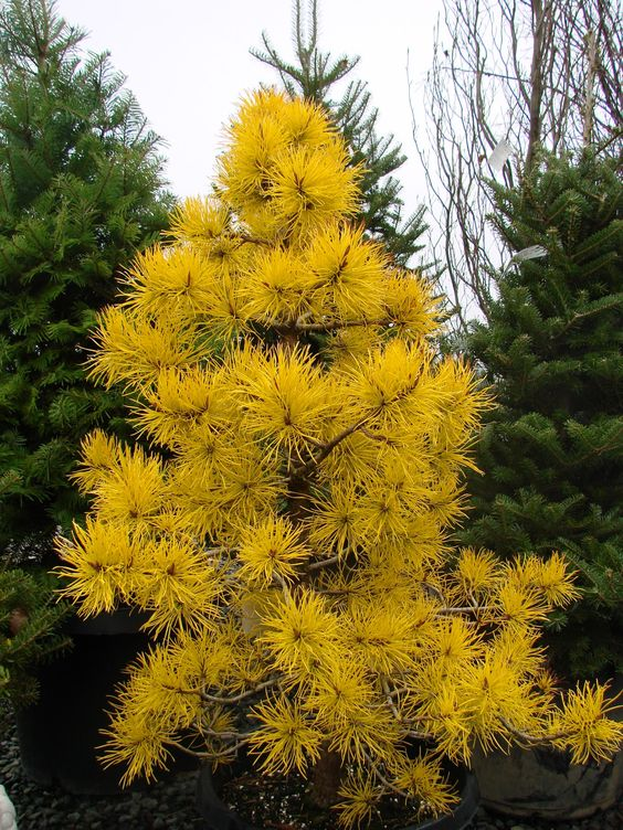 Pinus c. 'Chief Joseph'.  Coniferous, evergreen, dwarf tree. Most of the year the needles are colored light green, but in the winter they turn to a spectacular, shocking gold. Must have very well-drained soil.