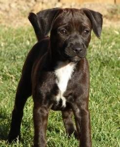 Pictures of Patterdale Terrier Dog Breed