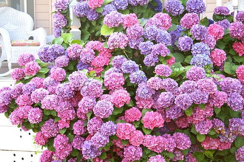 Hydrangeas -- beautiful range of color, from cobalt to rose. Scrumptious!