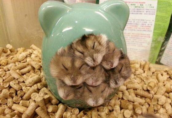 ハム集合  (via THIS JUST IN: HAMSTER STUFFAGE — Cute Overload)