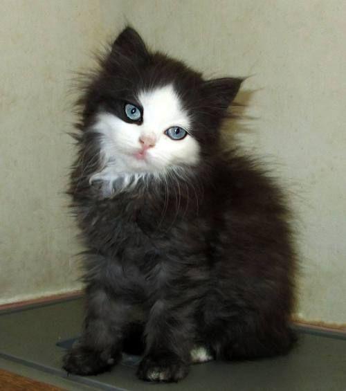 Topaz Breed Cute Cats Pretty Cats Beautiful Cats