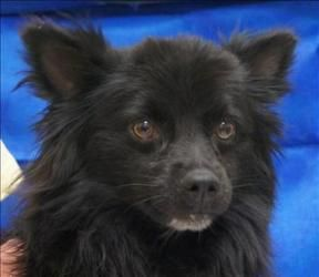Skippy                            Schipperke:                   An adoptable                                    dog                                     in                   Albuquerque, NM                                                                          Small                   •                  Adult                    •                  Male: