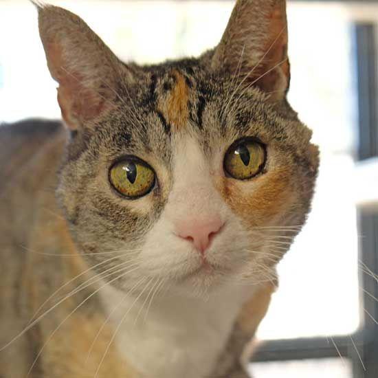 Cat Kittens For Adoption In San Diego Kitten Adoption Cat