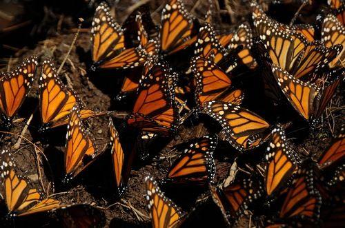 mariposas monarc.jpg