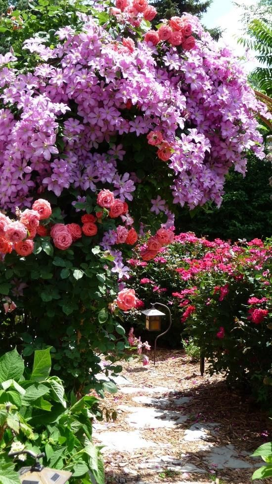 clematis and roses:
