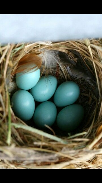 Uovo di pettirosso #colori