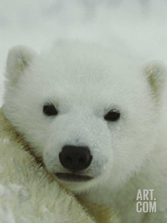 A Portrait of a Polar Bear Cub Photographic Print by Norbert Rosing at Art.com