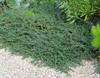 cotoneaster hedge - Google Search